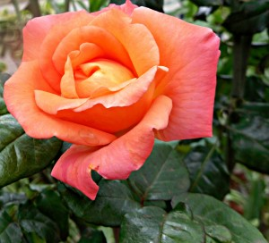 rose aromatherapy oil