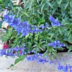 lavender aromatherapy oil